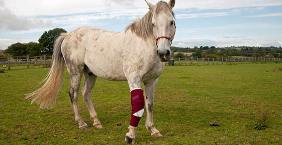 Image of horse with bandaged foreleg.