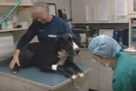 Image of a dog on an examination table being held down by a veterinarian and a vet technician.