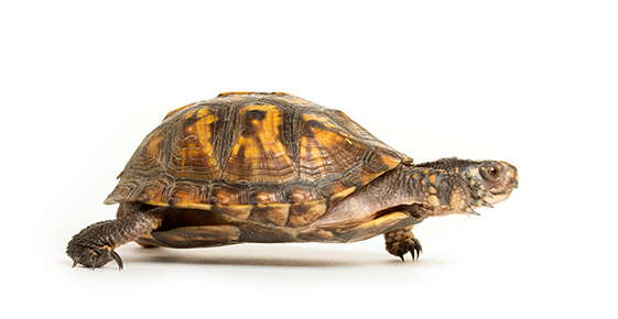 Image of a box turtle.
