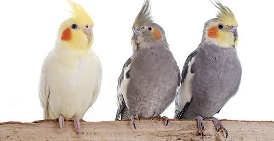 Image of three cockatiels.