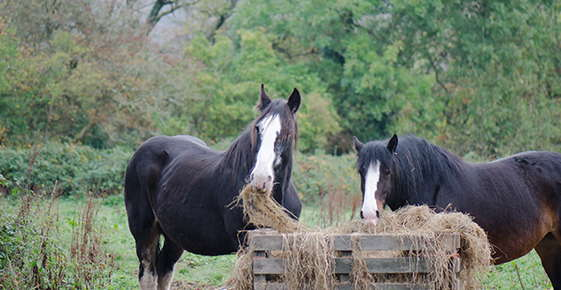 Image of two horses eating hay.