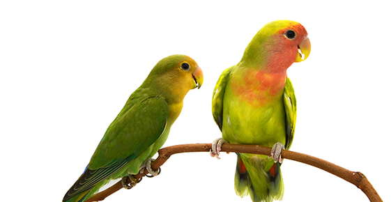 Image of lovebirds.