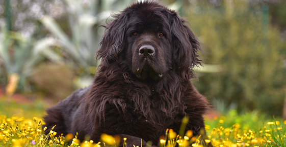 Image of a Newfoundland dog, a breed which has a higher chance of exhibiting Addison's.