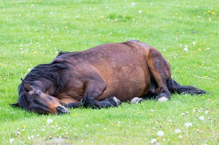 Image of horse laying down.