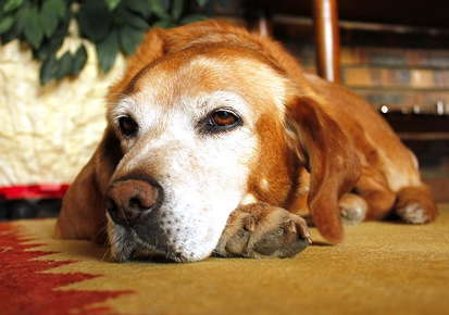 Image of an old dog laying on the ground.