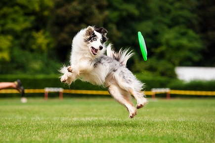 Image of dog jumping and catching a frisbee at the park.
