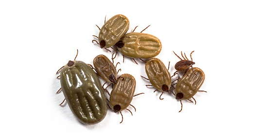 Image of ticks.