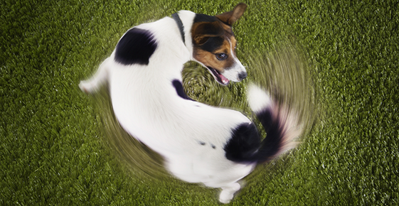 Image of a dog chasing its tail.