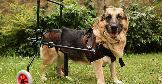 Image of a dog in a wheelchair.