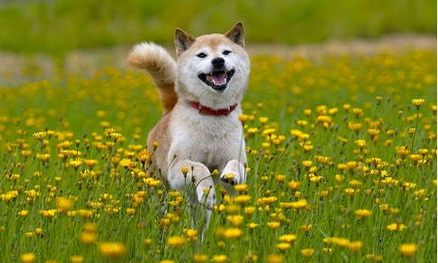Dog happily running through flower field