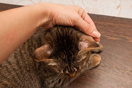 image of a cat with hair loss on its ear.