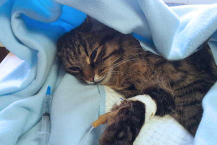 image of a cat with IV.