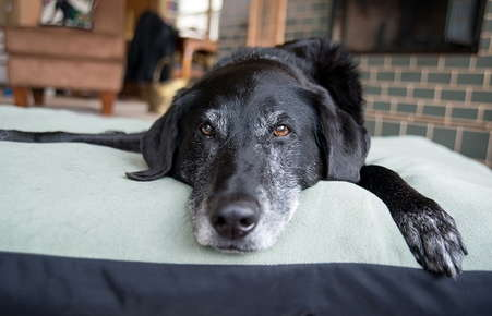 Image of an old dog on a dog bed.