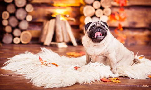 Pug on cozy fur rug with fall leaves.