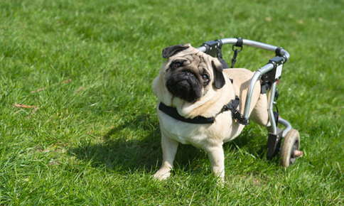 image of a pug in a wheelchair.