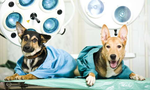 Image of dogs after surgery.