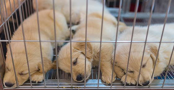 Image of puppies sleeping in a cramped wire cage on a hard wire floor.