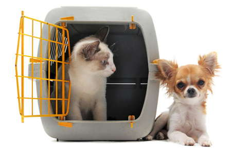 An image of a cat inside a travel carrier that is staring at a long haired chihuahua that is comfortably lying next to the carrier.