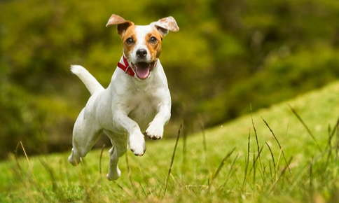 Jack Russell Terrier running through field