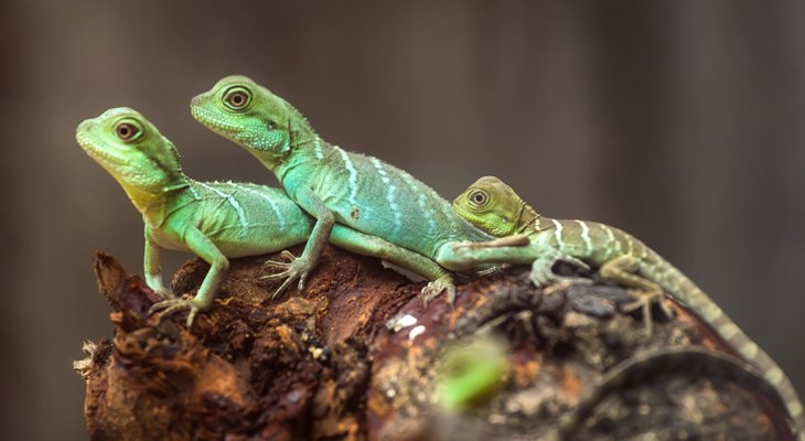 lizards on a log