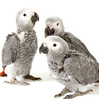 baby-African-Grey