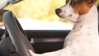 Dog in Need of Car Safety