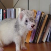 ferrets-can-be-furry-200_2.jpg