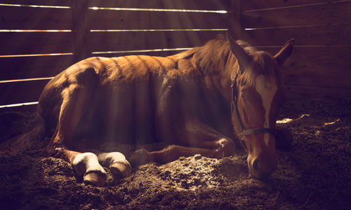 Horse lying down in stable