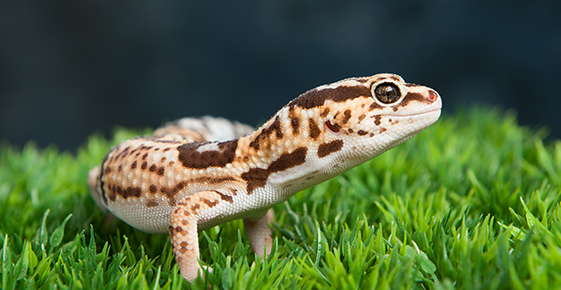 Image of a leopard gecko.