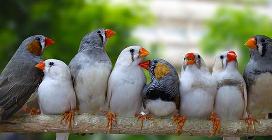 Image of several zebra finches.
