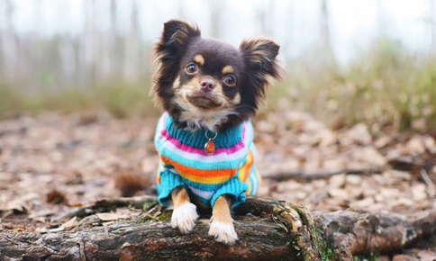 image of chihuahua wearing a sweater in the woods