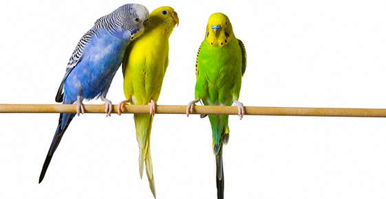 Image of budgies.