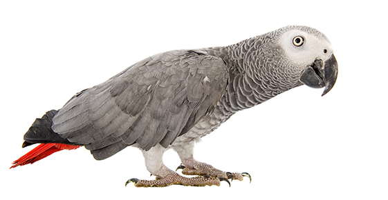 Image of an African grey parrot.