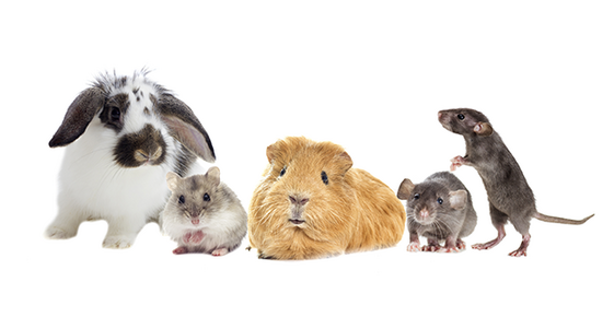 Image of pocket pets, including an adorable guinea pig.