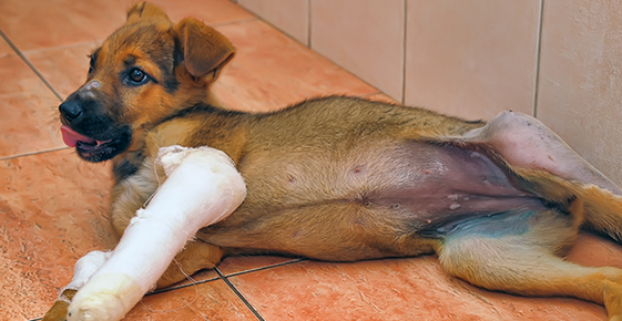 Image of a puppy with a broken leg in a cast.