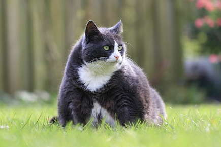 Image of obese cat sitting in the grass.