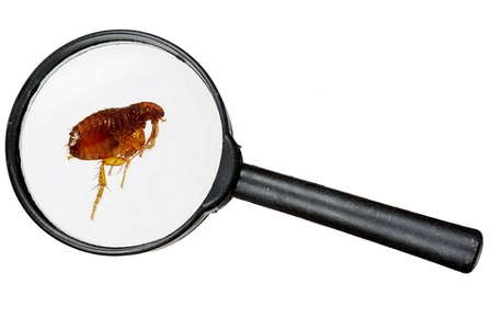 Image of a magnifying glass inspecting a flea.