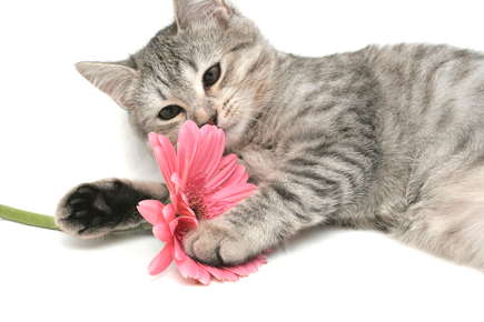 image of kitten playing with pink daisy