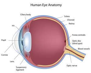 Image of the anatomy of a human eye.