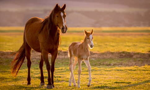 New foal walking with its mother