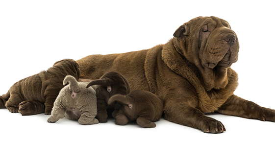 Image of a mom dog nursing her litter.