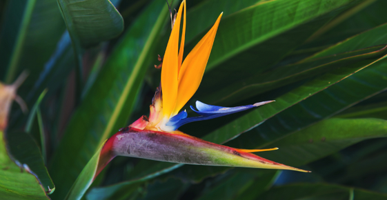 Image of a bird of paradise flower.