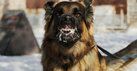 Image of a dog foaming at the mouth.