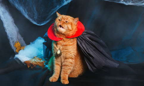 Cat dressed up as Dracula for Halloween