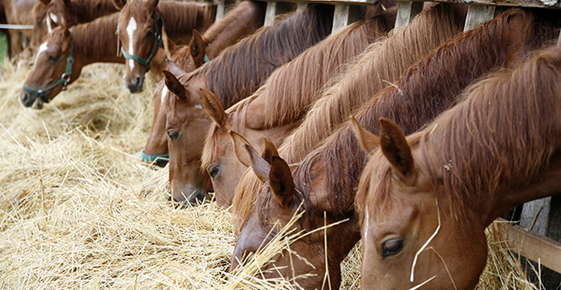 Image of horses eating hay.