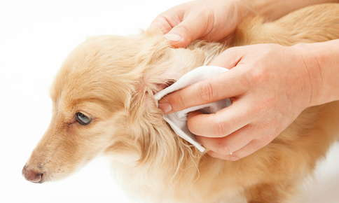 Veterinarian cleaning dog's ear