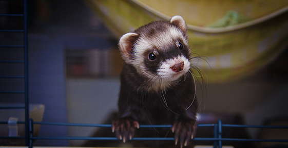Image of a ferret.