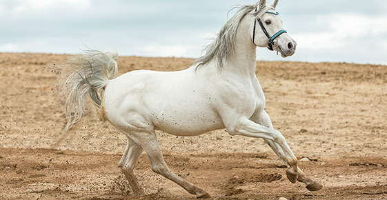 Image of white arabian horse running on sand.