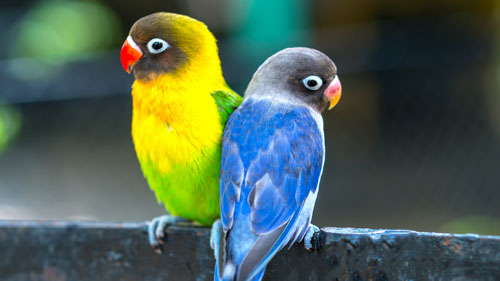 Image of two parrots