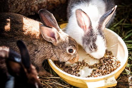 Image of rabbits eating out of a dish.